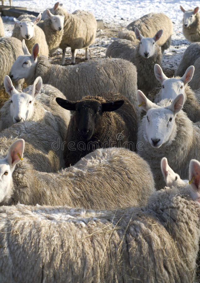 The black sheep of the flock. royalty free stock image