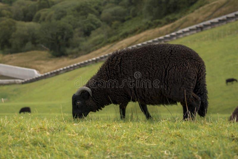Black sheep grazing on a hillside Wales. Black sheep grazing on a hillside in Brecon Beacons national park Wales stock image
