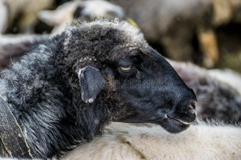Black sheep in the herd royalty free stock image
