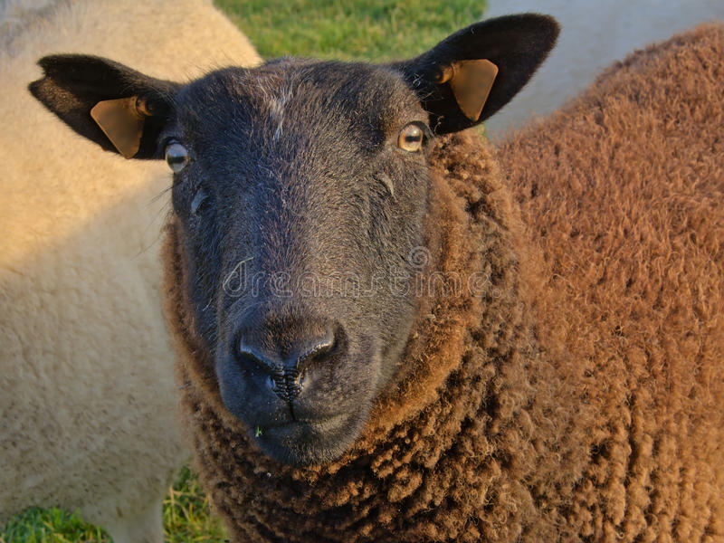 Black sheep looking at you ovis aries. Head of a black sheap in a meadow royalty free stock images