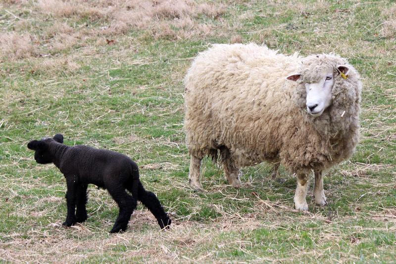 The Black Sheep royalty free stock photography