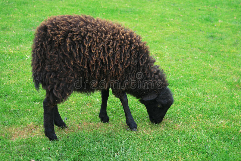 Black sheep - Ouessant sheep