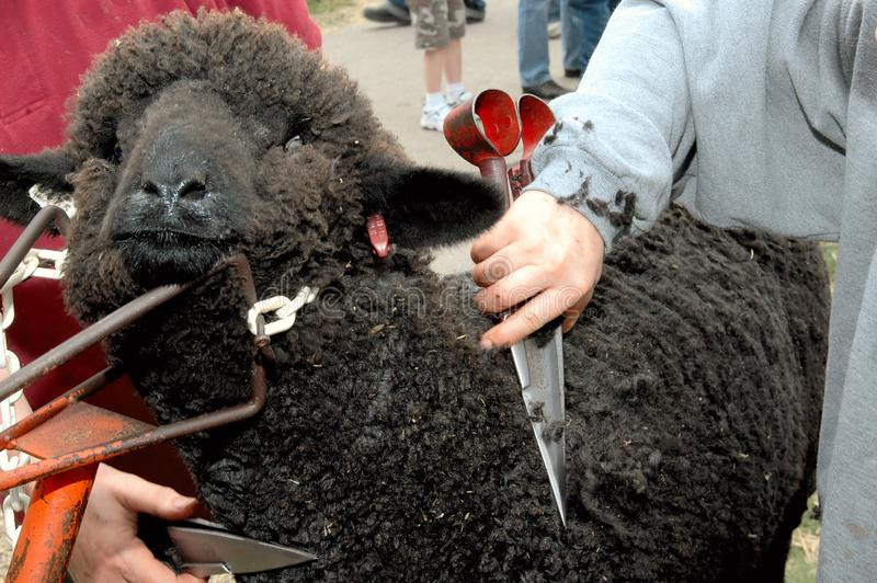 Download Black sheep sheared stock photo. Image of exhibit, hand - 2451530