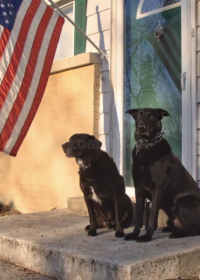 Black Shepherd mixed-breed dog and Chocolate Labrador Retriever posing at home. royalty free stock photos