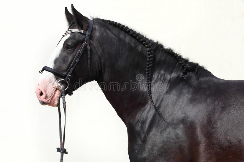 Black shire heavy draft horse portrait stock image