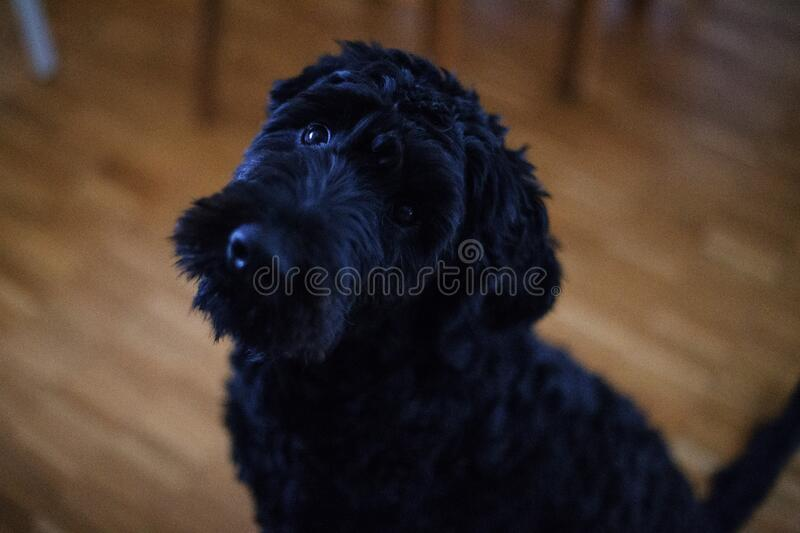 Black Short Coat Dog Sitting on Brown Wooden Floor stock photography