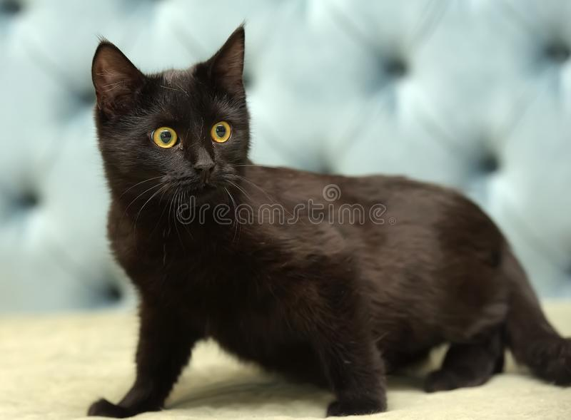 Black shorthair cat with yellow eyes royalty free stock photo