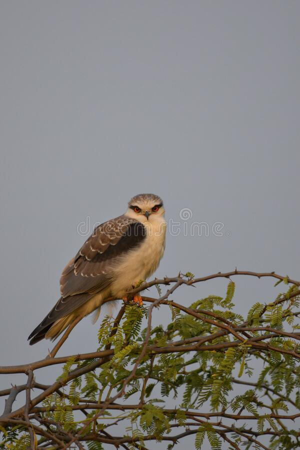 Black shouldered kite royalty free stock images