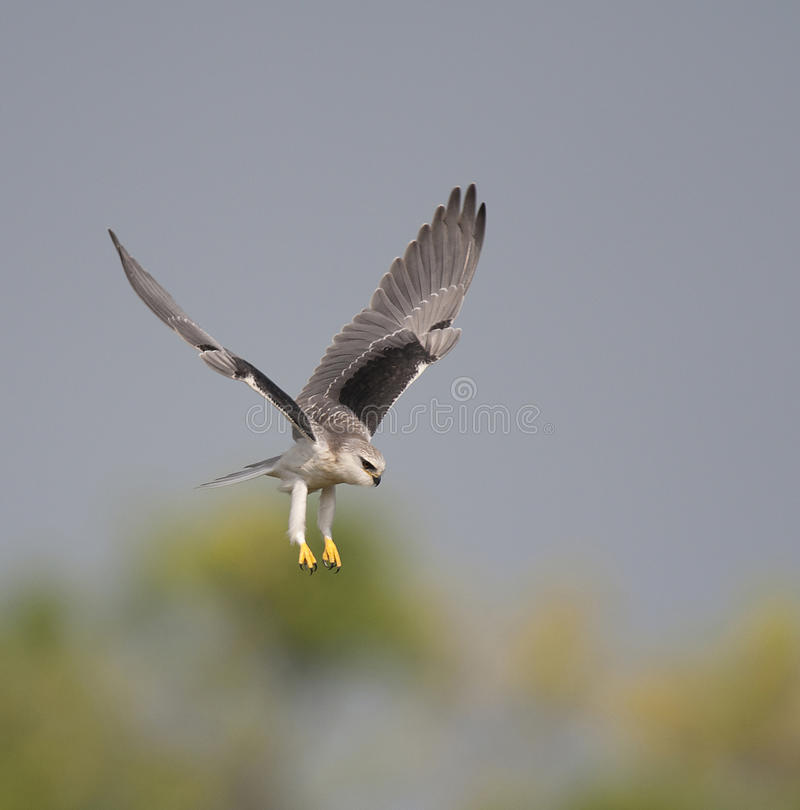 Download Black Shouldered Kite stock photo. Image of bird, raptor - 25272568