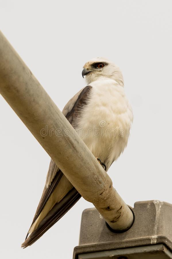 Black Shouldered Kite in Australia. Seen in open areas of Australia, this small attractive kite has broad black flashes on its wings royalty free stock images