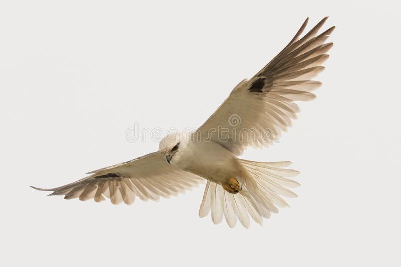 Black Shouldered Kite in Australia. Seen in open areas of Australia, this small attractive kite has broad black flashes on its wings royalty free stock photography