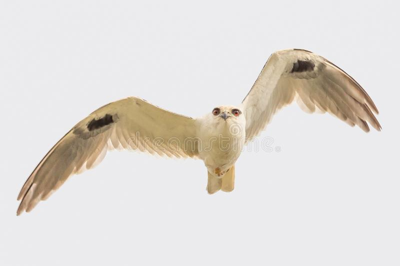 Black Shouldered Kite in Australia. Seen in open areas of Australia, this small attractive kite has broad black flashes on its wings stock photo