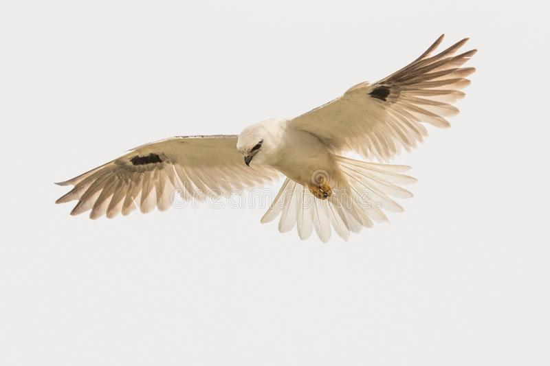 Black Shouldered Kite in Australia. Seen in open areas of Australia, this small attractive kite has broad black flashes on its wings royalty free stock image