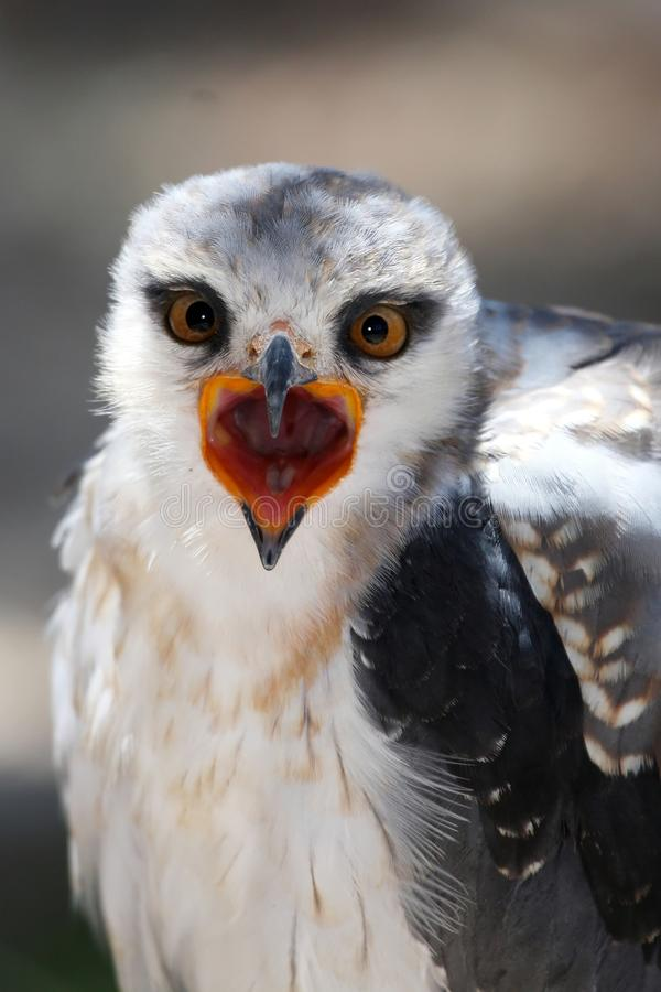 Download Black-shouldered Kite Bird stock photo. Image of animal - 12914934