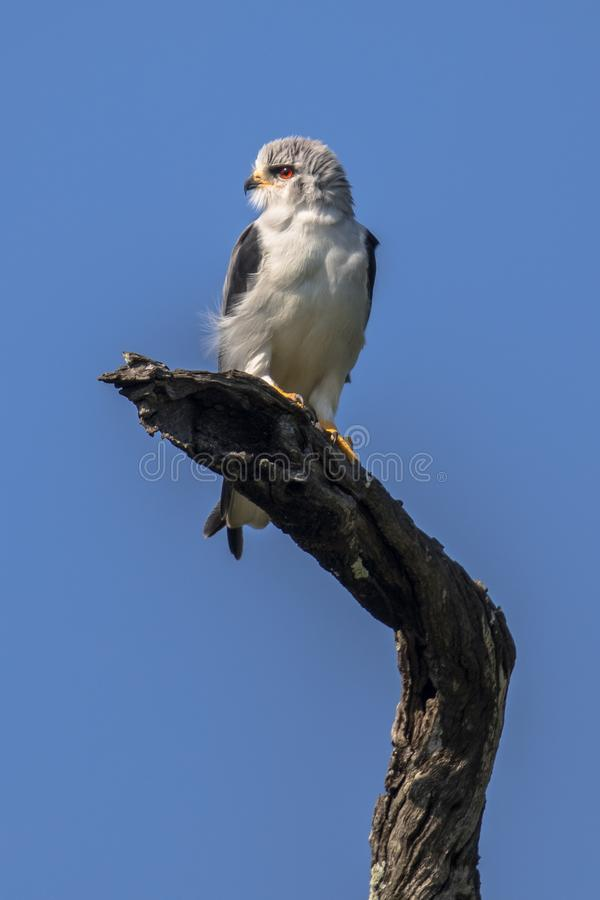 Black shouldered kite. Black-shouldered kite (Elanus caeruleus) bird of prey perched on branch in tree in Kruger national park South Africa royalty free stock photos