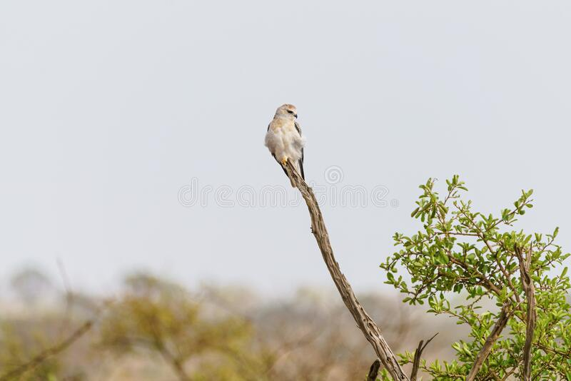 Black-shouldered Kite & x28;Elanus axillaris& x29; perched on a dead branch, in South Africa royalty free stock photos