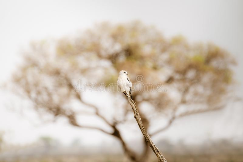 Black-shouldered Kite & x28;Elanus axillaris. Black-shouldered Kite perched. Taken in Kruger Park, South Africa stock photos