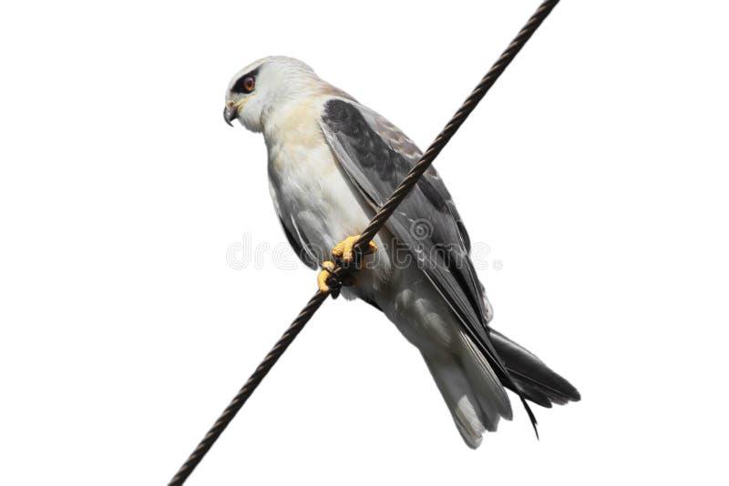 The Black-shouldered Kite Elanus Axillaris Stock Photo - Image of ...