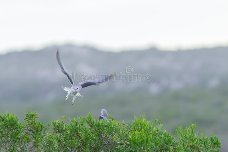 Black Shouldered Kite flying at speed stock images