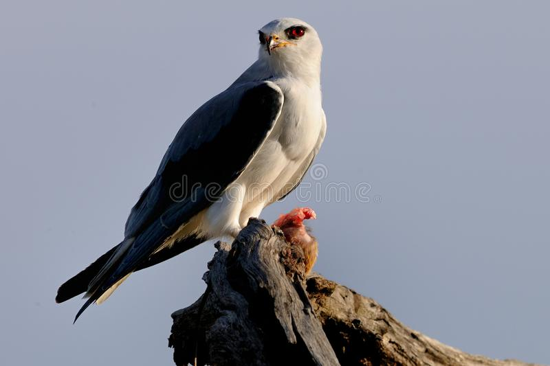 Black Shouldered Kite with Kill. This Black Shouldered Kite was enjoying his kill (some kind of rodent) but was also very vigilant whilst it ate stock photography