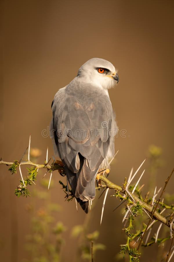 Black-shouldered kite perched in thorns with catchlight royalty free stock photos