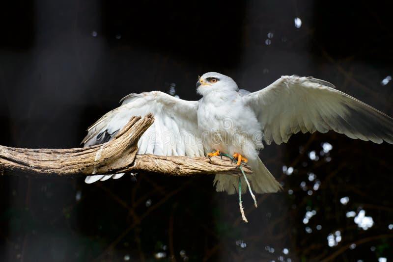 Black-shouldered Kite royalty free stock image