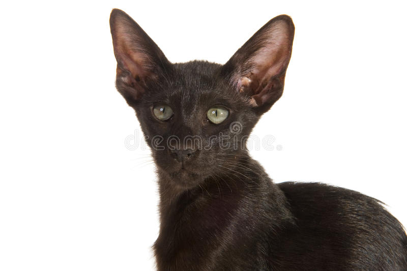 Download Black Siamese cat stock photo. Image of portrait, background - 14333480