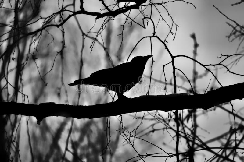 Black silhouette of a crow on a branch. Silhouette of a crow sitting on a branch in the autumn evening forest. Photo in black and white format. Moment from the royalty free stock photo