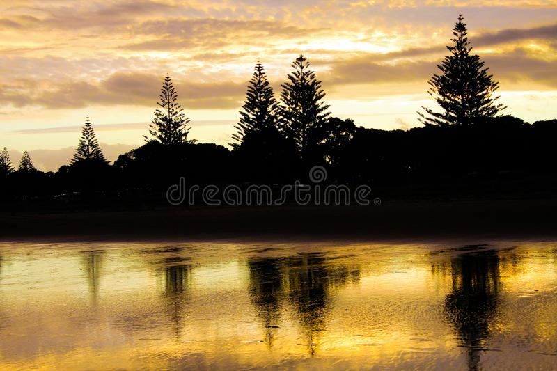 Black silhouettes of norfolk pine trees reflecting in water of mudflat during low tide. The light is yellow golden from sunset. royalty free stock photo