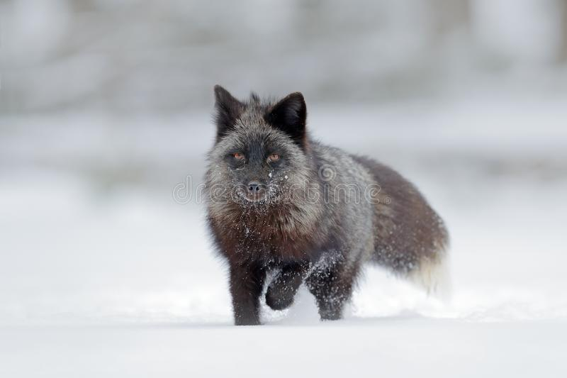 Black silver fox, rare form. Black animal in white snow. Winter scene with nice cute mammal. Wildlife nature royalty free stock photos
