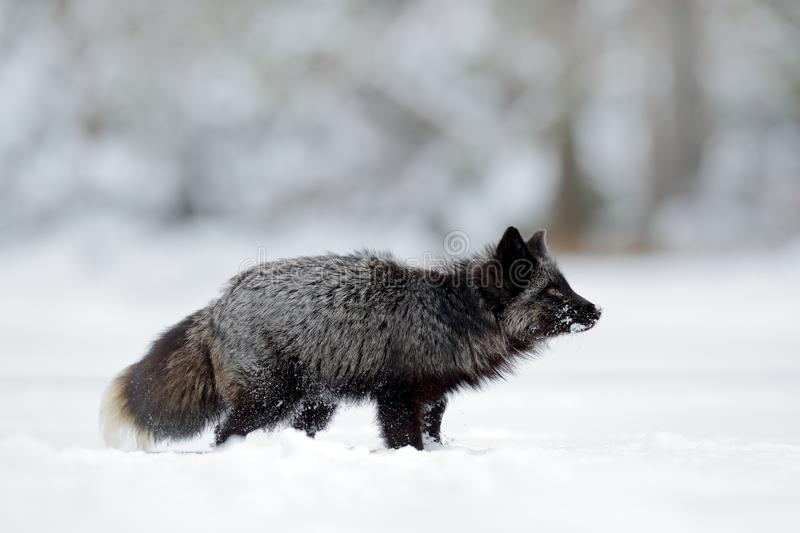 Black silver fox, rare form. Black animal in white snow. Winter scene with nice cute mammal. Black silver fox, rare form. Black animal in white snow. Winter royalty free stock photo