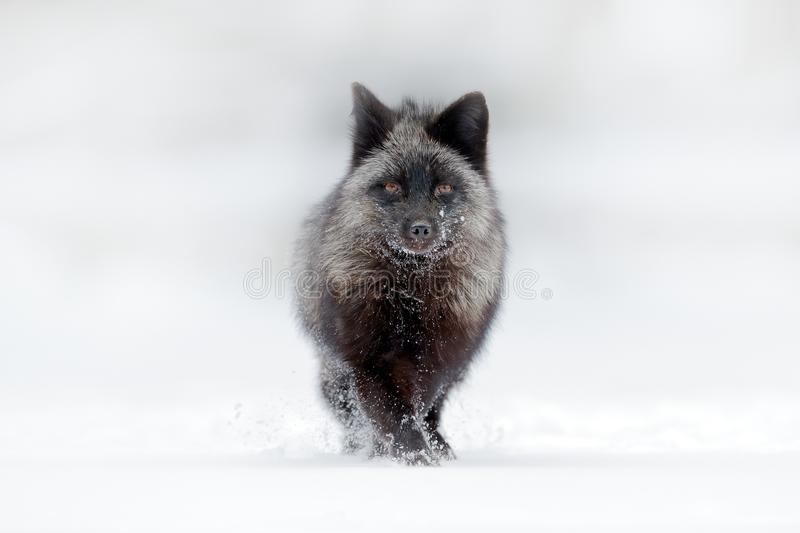 Black silver fox, rare form. Dark red fox hunting in snow meadow forest. Wildlife scene from wild nature. Funny image from Russia. Fox with black and white royalty free stock image