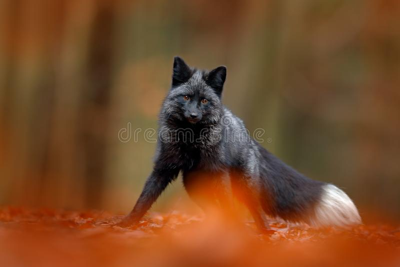 Black silver fox, rare form. Dark red fox playing in autumn forest. Animal jump in fall wood. Wildlife scene from wild nature. Fun. Black silver fox, rare form stock photos