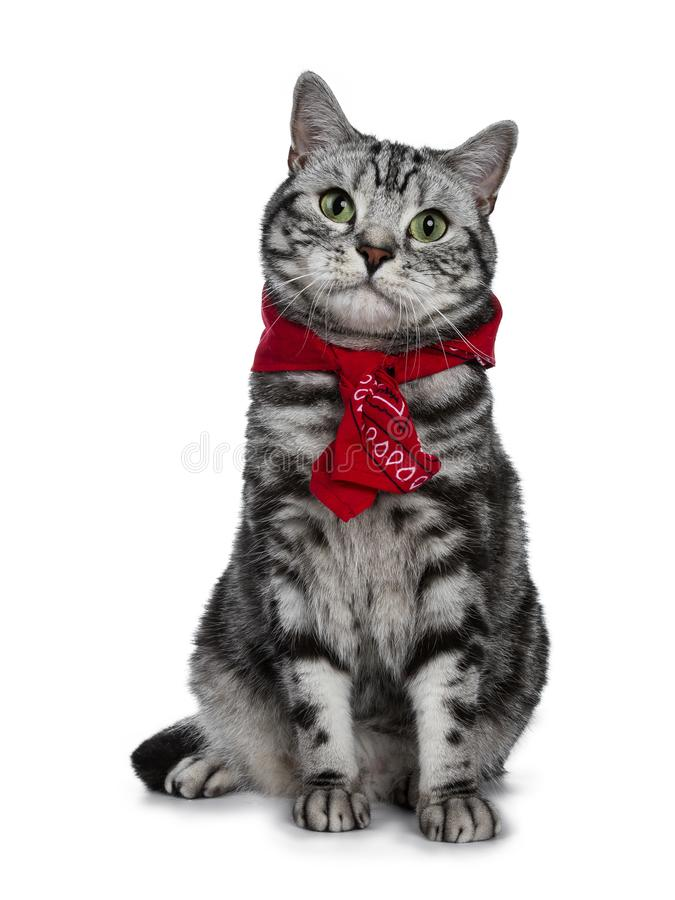 Handsome black silver tabby British Shorthair cat sitting straight up wearing a typical Dutch `boerenzakdoek` around his neck isol. Black silver tabby British stock image