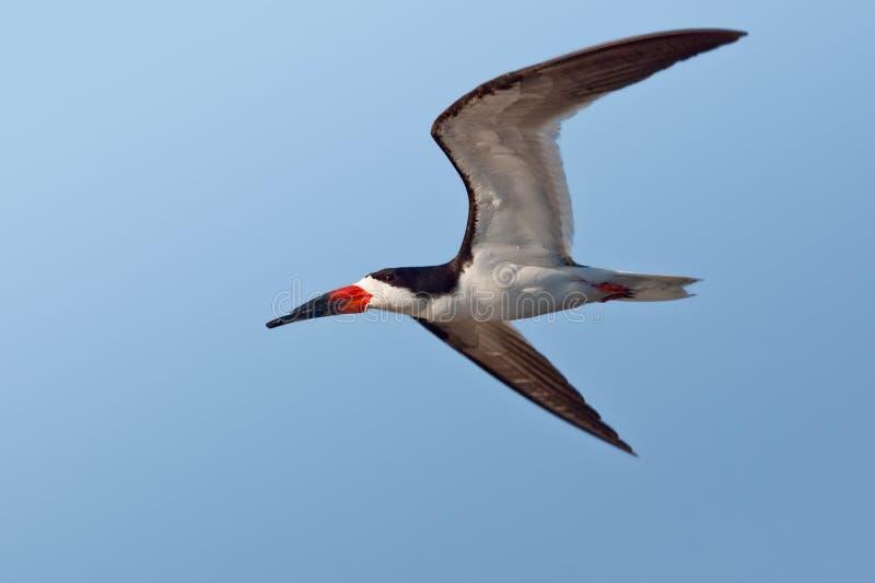 Download Black Skimmer stock photo. Image of nature, wildlife - 22134474