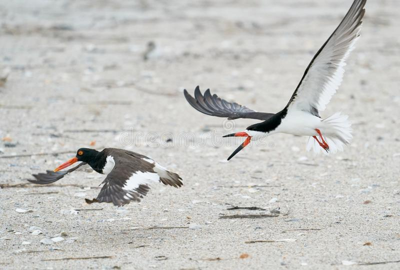 A Black Skimmer chases after an American Oystercatcher. An adult Black Skimmer chases off American Oystercatchers on Wrightsville Beach in Wilmington, North stock images