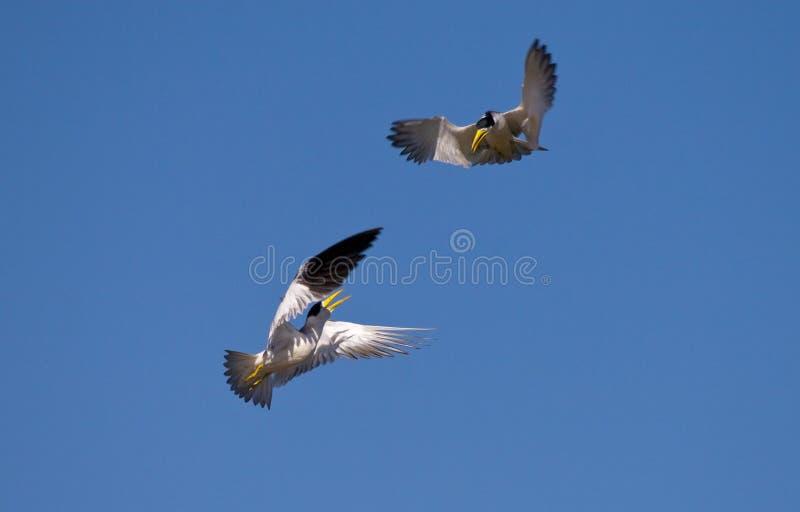 Download Black Skimmer fighting stock photo. Image of hunter, bird - 15448280