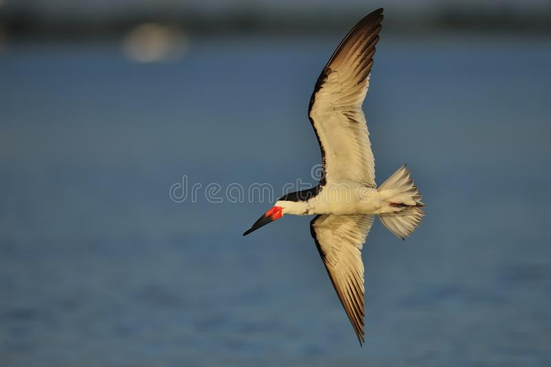 Download Black Skimmer in flight stock image. Image of feather - 28238205