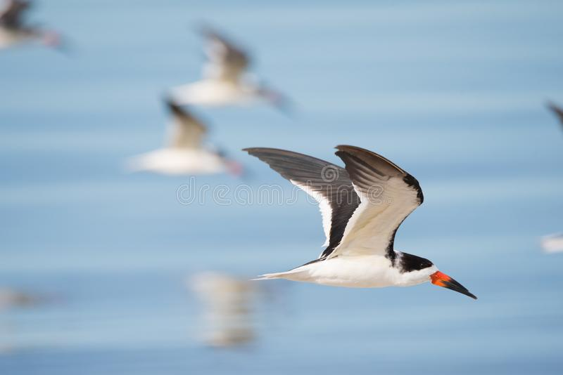 Black Skimmer Flock In Flight. A flock of Black Skimmers flies past Parrish Park in Titusville, Florida, west of birding hotspot Merritt Island stock photo
