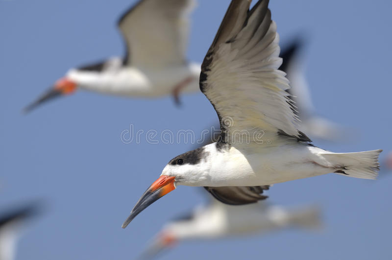 Black skimmer, rynchops niger. Flying stock photo