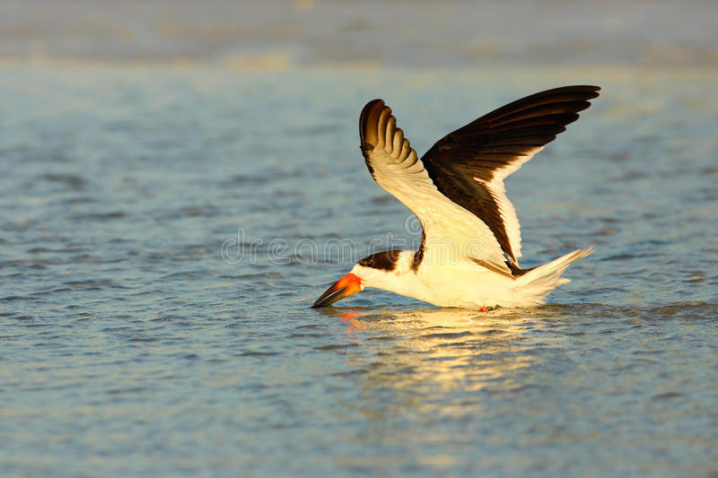 Black Skimmer, Rynchops niger, beautiful tern in the water. Black Skimmer in the Florida coast, USA. Bird in the nature sea. Habitat royalty free stock photography