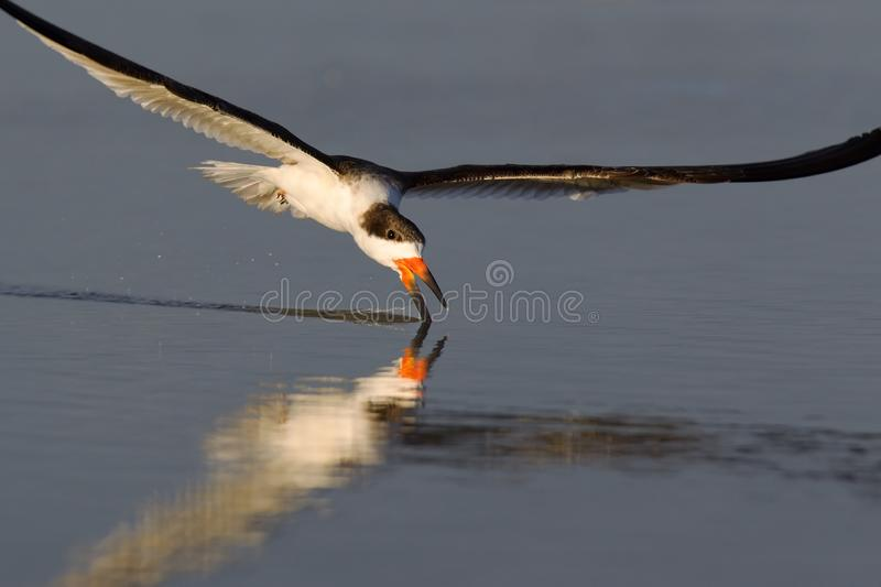 A black skimmer rynchops niger in flight foraging with its beak in the pond seen from Fort Myers beach,Florida, USA. A black skimmer rynchops niger in flight royalty free stock photography