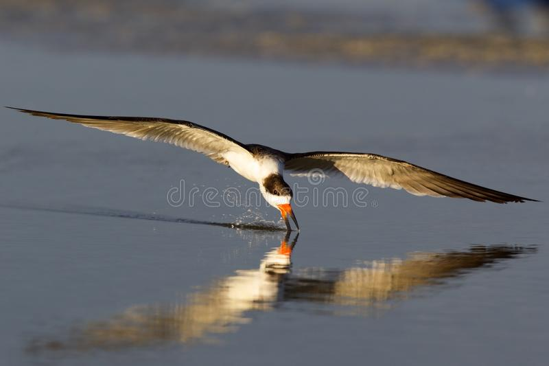 A black skimmer rynchops niger in flight foraging with its beak in the pond seen from Fort Myers beach,Florida, USA. A black skimmer rynchops niger in flight royalty free stock images