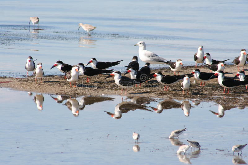 Black Skimmer Rynchops niger 2. A Black Skimmer Rynchops niger in Florida stock photography