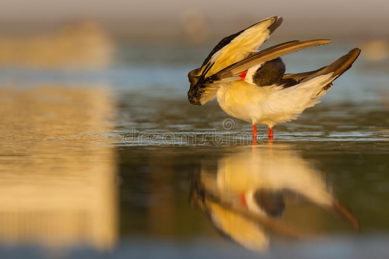 A black skimmer rynchops niger preening in the morning sun in a pool of water seen from Fort Myers beach,Florida, USA. A black skimmer rynchops niger preening stock photo