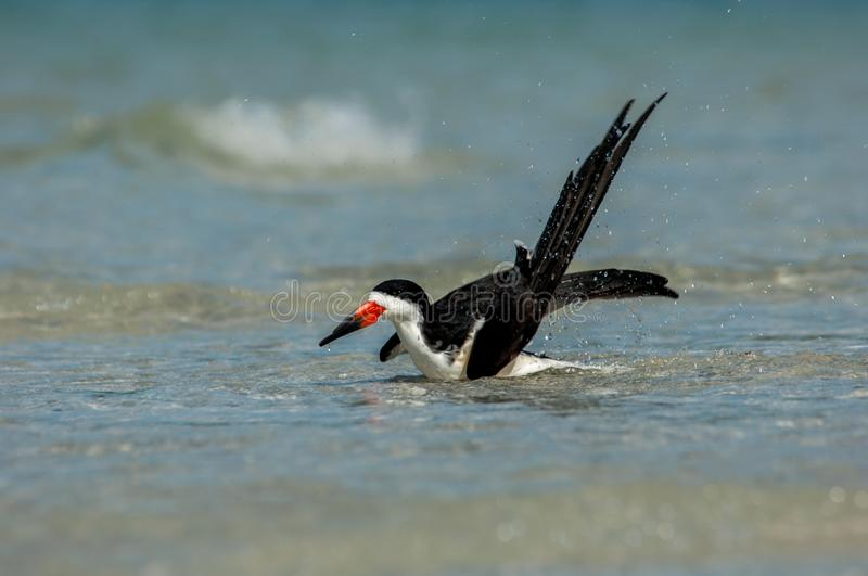 A black skimmer Rynchops niger splashes and grroms in the Gul. F of Mexico at Wiggins Pass, Florida stock photography