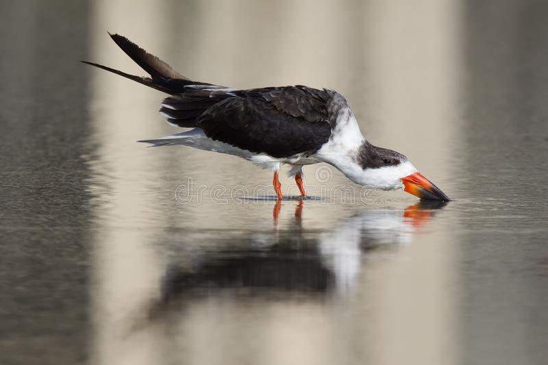 A black skimmer rynchops niger standing in a pool and drinking water seen from Fort Myers beach,Florida, USA. A black skimmer rynchops niger standing in a pool stock images