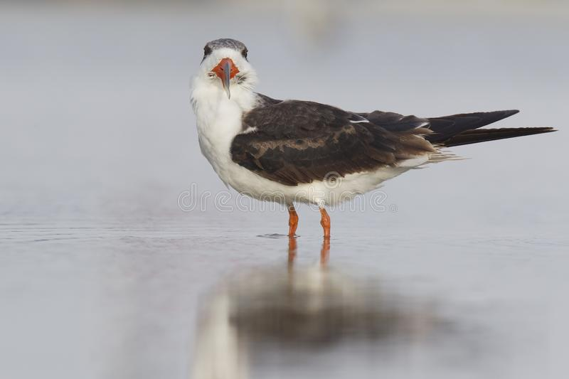 A black skimmer rynchops niger standing in a pool of water seen from Fort Myers beach,Florida, USA. With its reflection in the water stock images