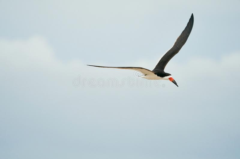 A Black Skimmers flying over the beach. An adult black Skimmers flies over Wrightsville Beach in Wilmington, North Carolina, during the summer breeding season stock photography