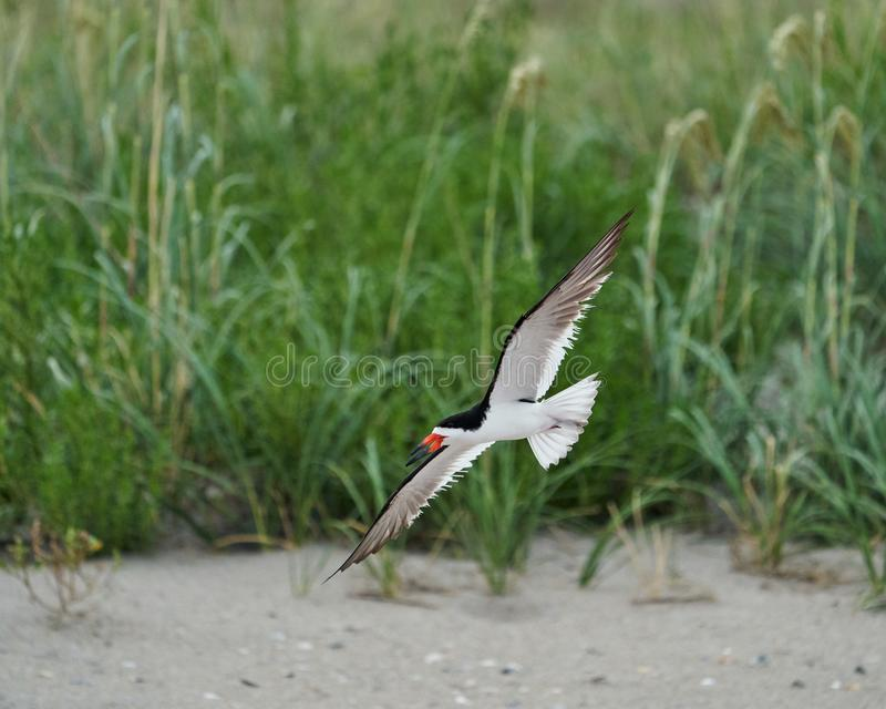 A Black Skimmers flying over sea oats and the beach. An adult black Skimmers flies over the sea oats along Wrightsville Beach in Wilmington, North Carolina stock photography